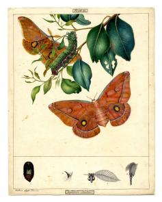 Images from the Harriet and Helena Scott Australian Lepidoptera Collection
